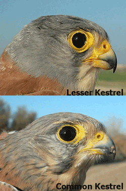 lesser_common_head