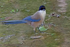 img 5863---azure-winged-magpie