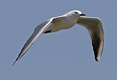 slender-billed-gull1