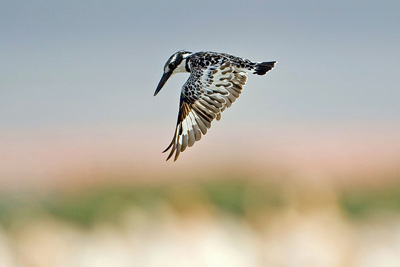 a_pied-kingfisher_web
