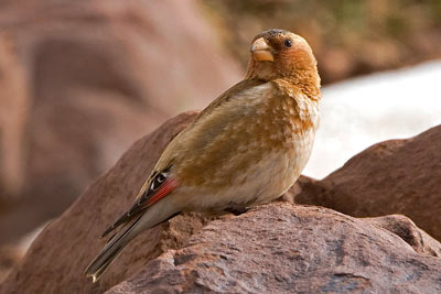 crimson-winged-finch_web