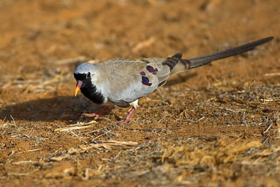 namaqua-dove_web