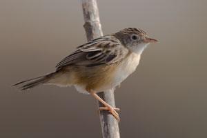 3t9p1072---fan-tailed-warbler