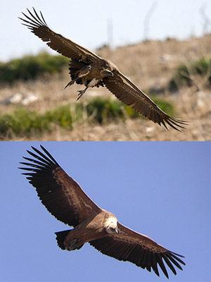 ruppells griffon-vulture comparison
