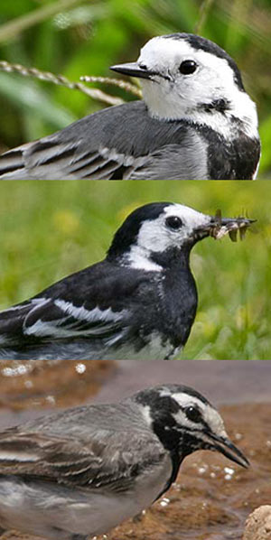 white-wagtails andalucia