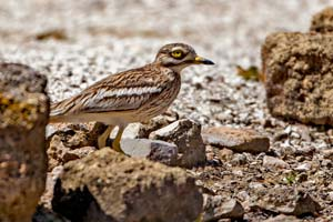 june2013 IMG 7053 Stone Curlew