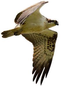 osprey--img 3411 tim osprey2