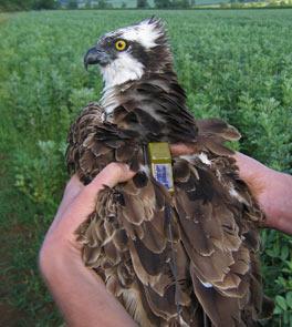 osprey-img 4225---09-big tim osprey