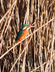 August2013-Kingfisher