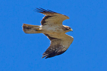 Sept2013-Booted-Eagle