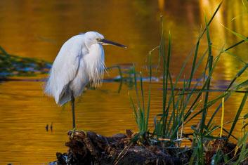 Axarquia-Little-Egret