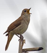 Axarquia-nightingale