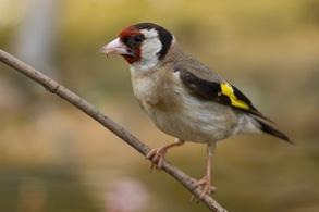 201404-Goldfinch
