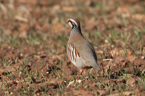201404-Red-legged-Partridge