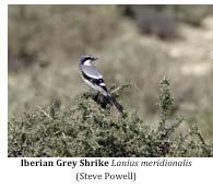 March2014-Iberian-Grey-Shrike