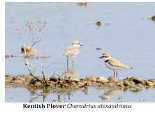 March2014-Kentish-Plover