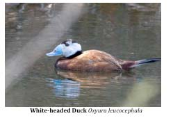 March2014-White-headed-Duck