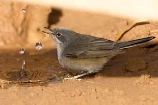 3t9p8124---subalpine-warbler
