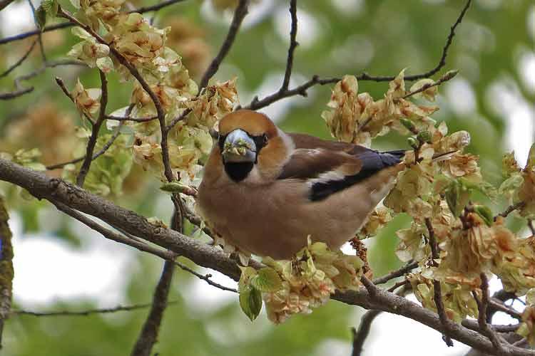 Hawfinch a1