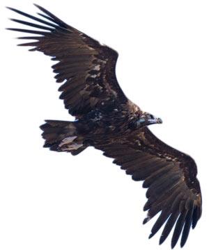 IMG 2949---Black-Vulture