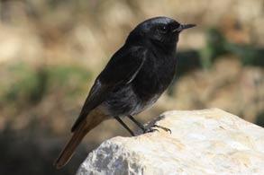 10-0901-Black-Redstart