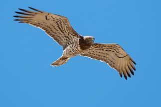 3T9P7934---Short-toed-Eagle