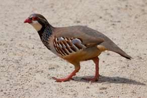 IMG 7292-Red-legged-Partridge