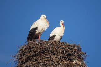 IMG 7987---White-Stork