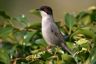 img 0007---sardinian-warbler