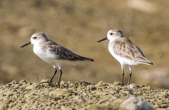 WQSpoon-billed-Sandpiper---Eurynorhynchus-pygmeus