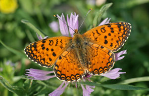 Aetherie-Fritillary