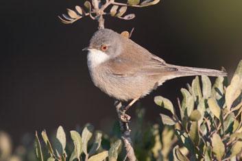 3T9P7515---Sardinian-Warbler-(f)