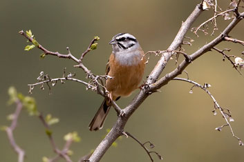 3T9P7676---Rock-Bunting