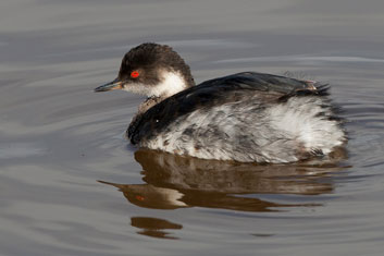 3t9p7776-black-necked-grebe