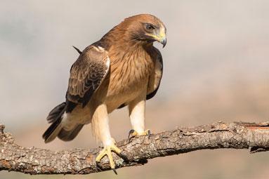 201607Booted Eagle