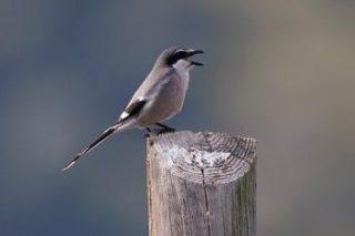 201707Southern Grey Shrike