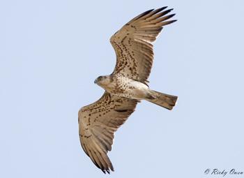 20170909 Short toed Eagle